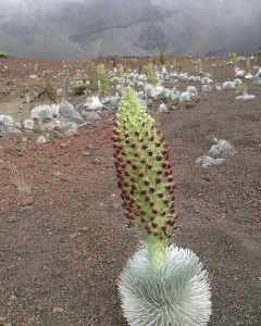 Silversword n Bloom